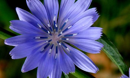 Chicory Market Report – Global Industry Analysis by Type, Regions and Application